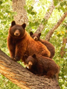 mama bear with babies